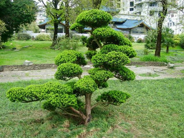 Бонсай своими руками с сад
