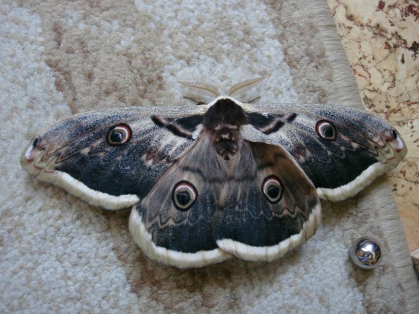 Начная Бабочка В Выксе
