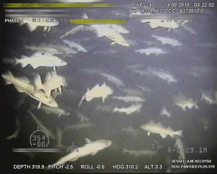Underwater. Слухи об истощении рыбных ресурсов несколько преувеличены. Треска — каждая сантиметров по 70. Снято глазами телеуправляемого подводного аппарата (ROV).