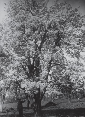Цветущее дерево груши сорта Хутема Аул Агуй Туапсинский район