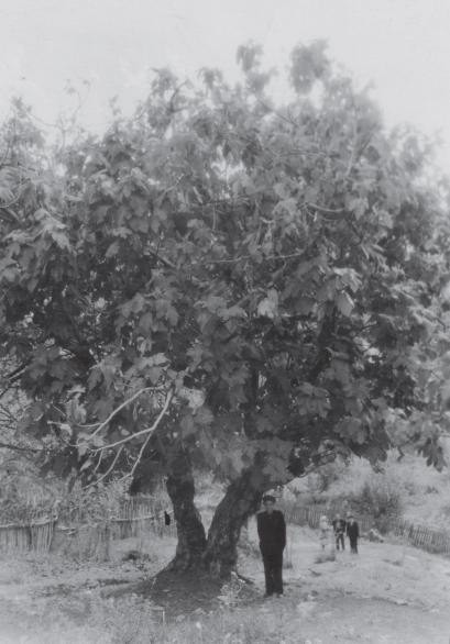 Дерево инжира. Аул Большой Кичмай Лазаревского района