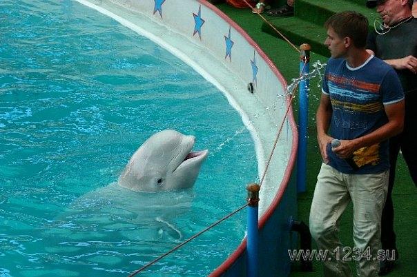 """Фото из Интернета. Из этих трех, сейчас в Сочинском дельфинарии """"работает"""" лишь одна белуха, ее тренер и ведущий (парень с микрофоном на фото) """"уволены"""""""