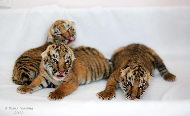 Тигрята приёмыши в Сочи Af05040e2a