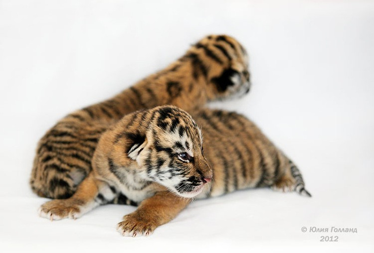 Тигрята приёмыши в Сочи Ddeabee38b