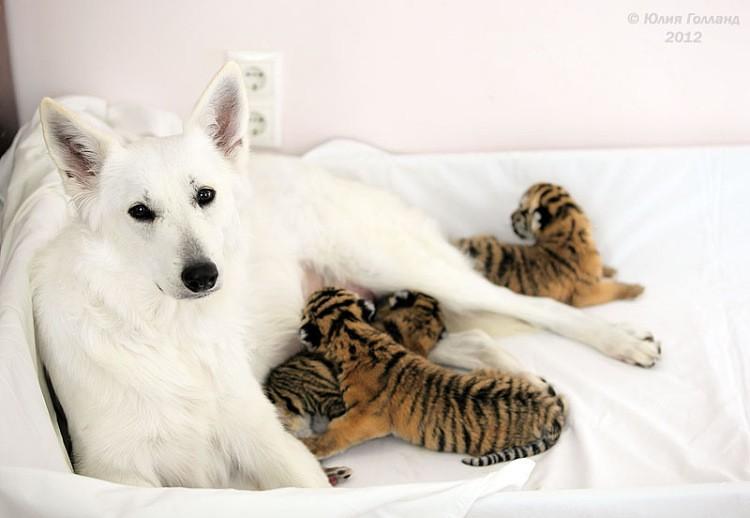 Тигрята приёмыши в Сочи E8e905fbfc