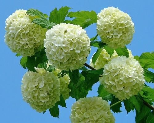 Цветок и похожие на сирень названия 31