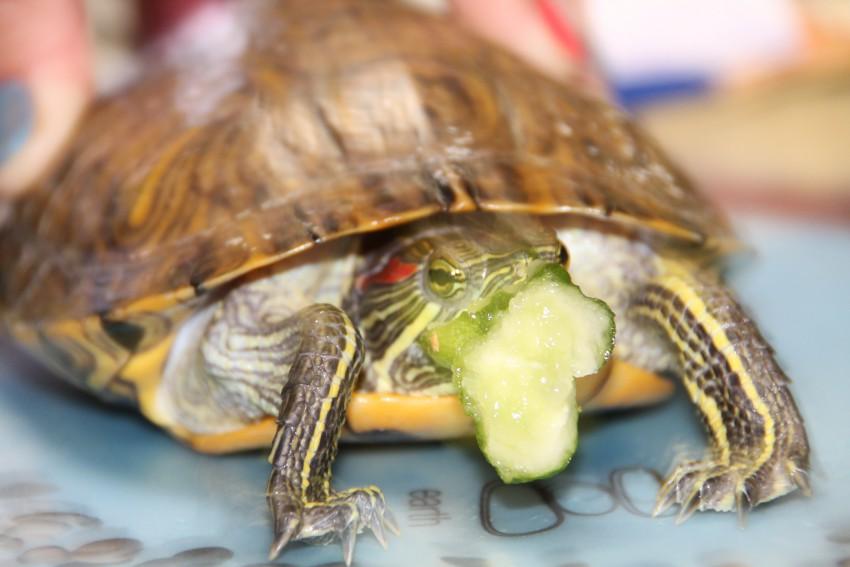 До каких размеров вырастают черепахи в домашних условиях