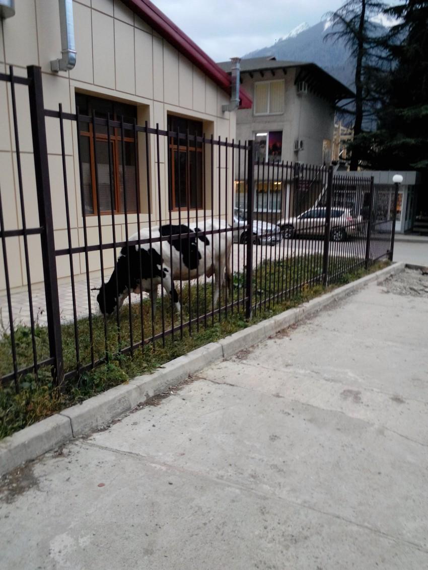 Корова в центре Красной поляны у здания клуба, ул. Турчинского, рядом ул. Заповедная