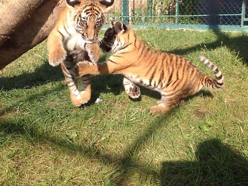 Тигрята приёмыши в Сочи 857229