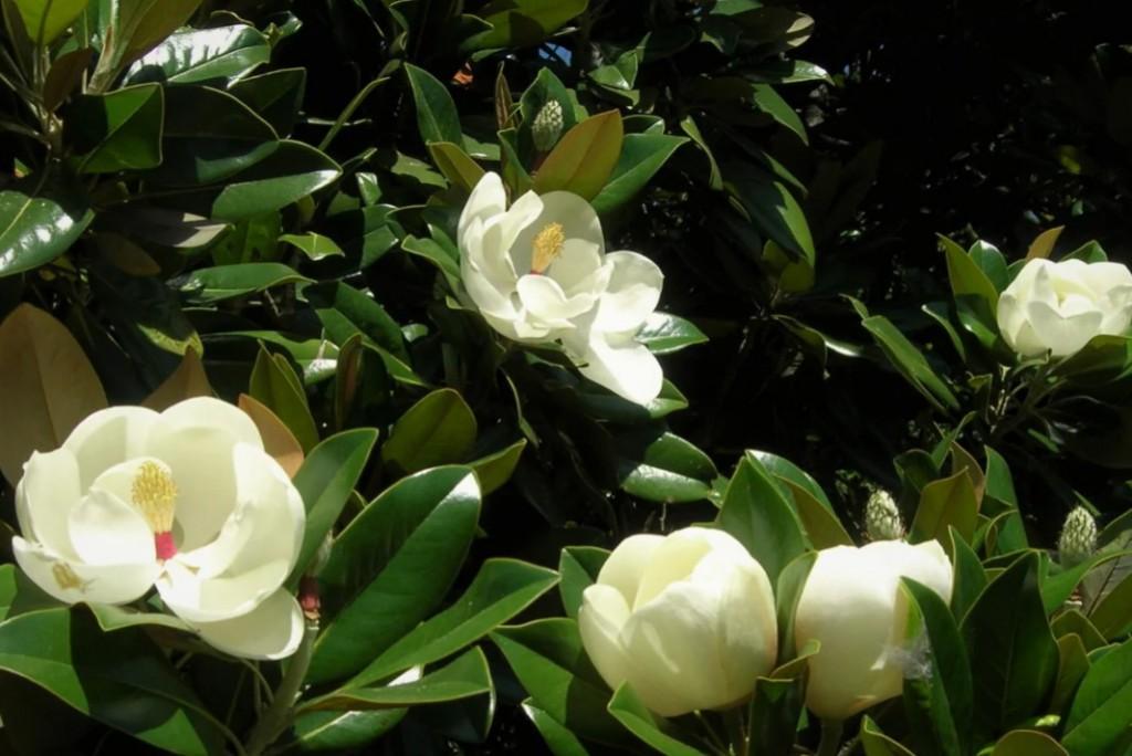 Почему цветы красавицы магнолии не стоит приносить в дом