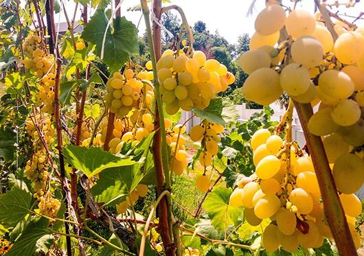Столовый сорт винограда Августин
