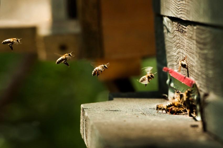Горные пчелы