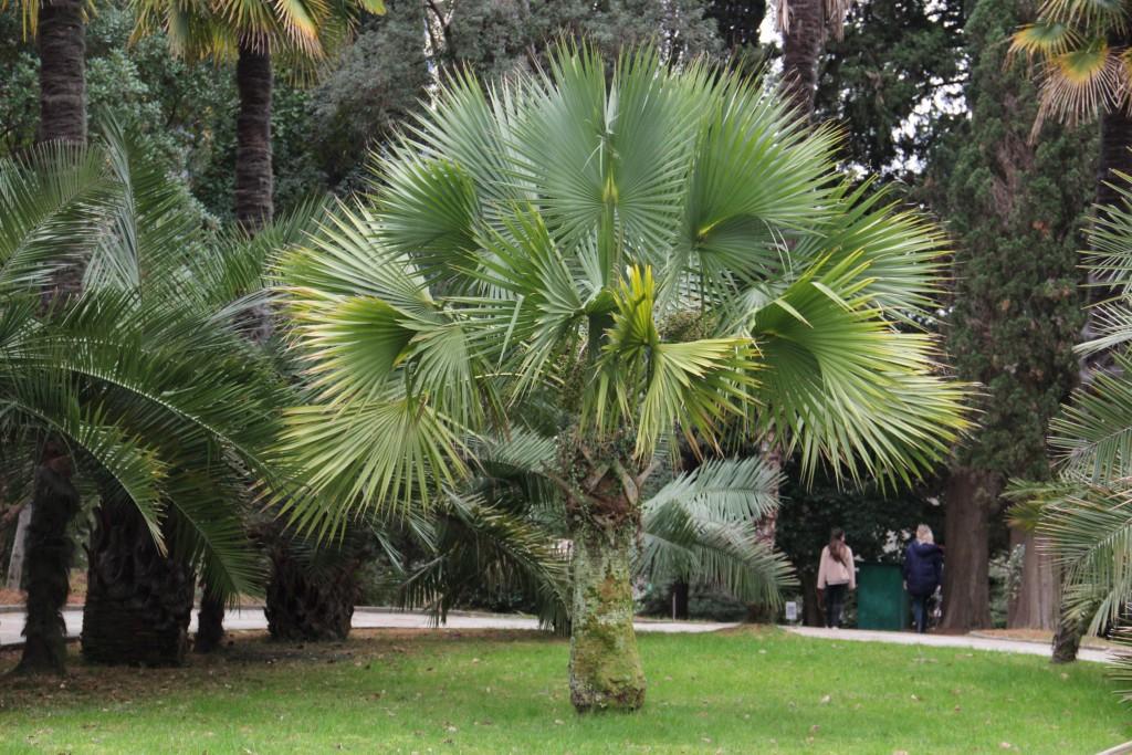 Листья пальмы можно попробовать на вкус