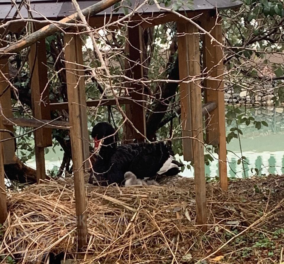 В парке Южные культуры у пары черных лебедей появилось потомство