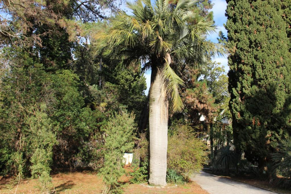 Сочинский национальный парк, Юбея чилийская, Jubaea chilensis