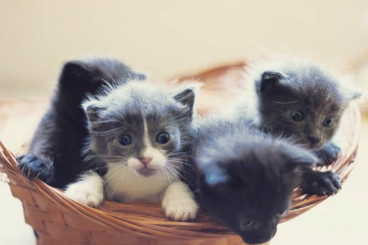 Котята в дар. Без вредных привычек.