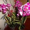 Продам орхидею фаленопсис Chia E Yenlin variegata