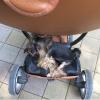 Пропала собака йорк 26 мая в центре Сочи