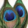 Серьги из павлиньих перьев