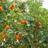 Продам с/х бизнес в Абхазии (выращивание мандаринов)