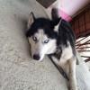 Найдена собака породы Хаски , мальчик