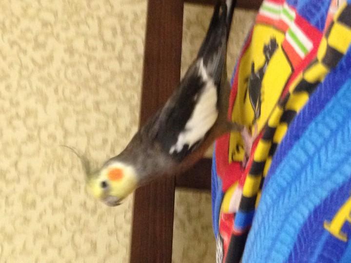 Пропал попугай Корелла (говорящий)