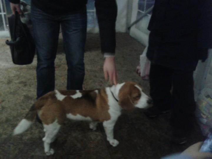 Найдена собака бигль кобель Горкигород