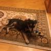 Найден щенок цвегпинчера