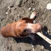 Потерялся старый пёс, такс Макс. Район ул. Бамбуковой. Помогите