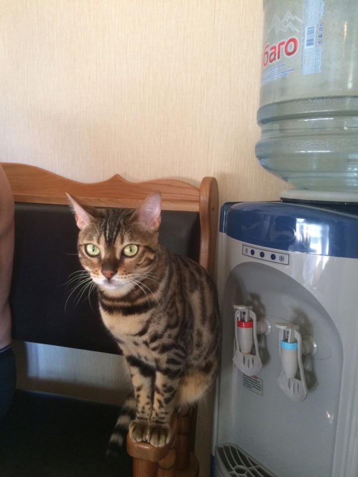 Пропала кошка Бенгал! Нашедшего просьба вернуть за Вознаграждени