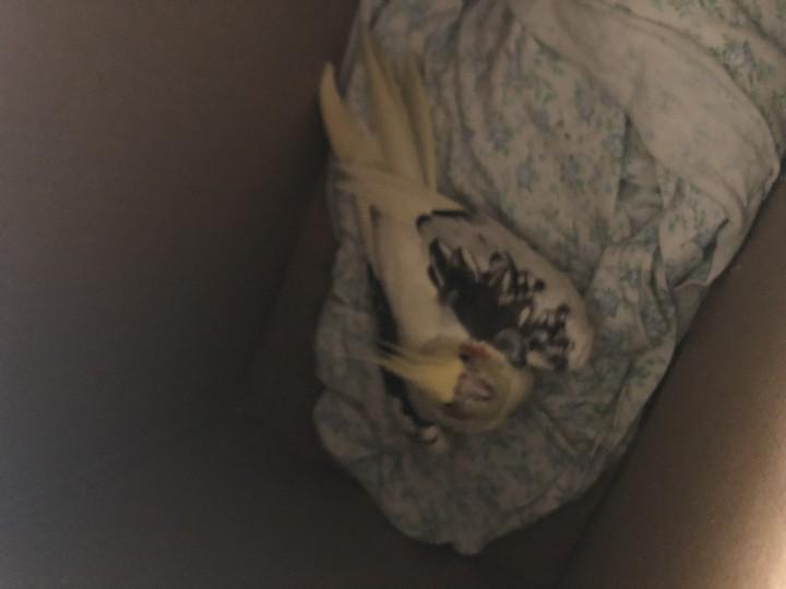 Найден попугай корелла