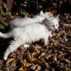 Два белоснежных пушистых котенка