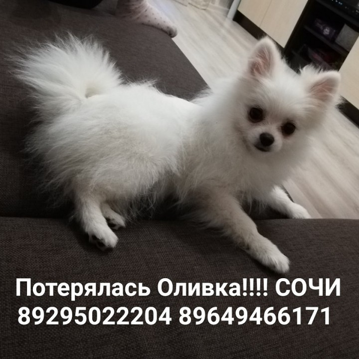 Потерялась собака белый шпиц
