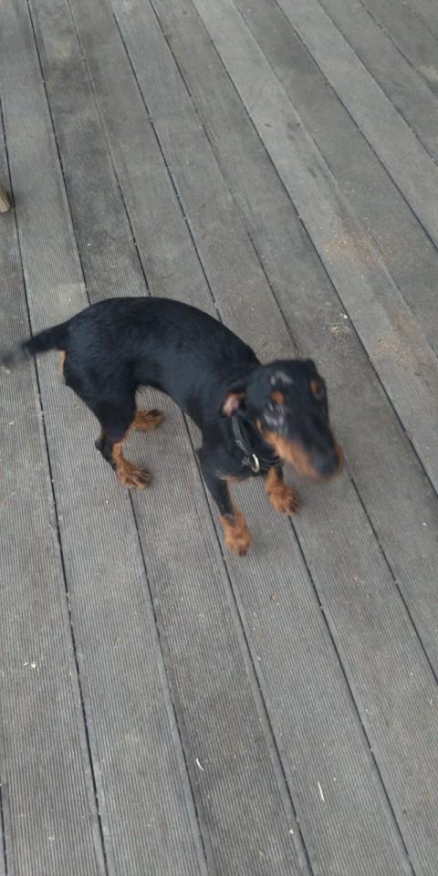 Потерялась собака породы ягд-терьер