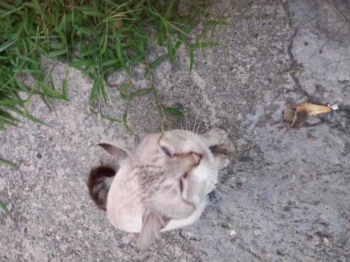 Сиамский кот: отслужил, старый , выбросим?