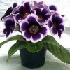 КУПЛЮ ГЛОКСИНИИ, ну и другие цветочки посмотрю