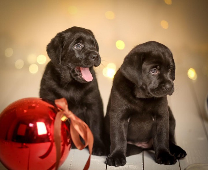 Предлагаем к продаже щенков породы Лабрадор-ретривер